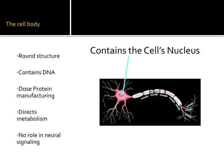 The cell body