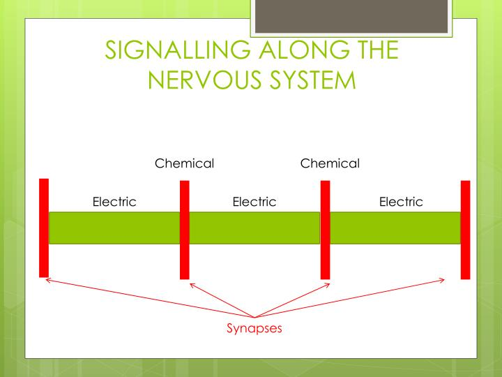 SIGNALLING ALONG THE NERVOUS SYSTEM