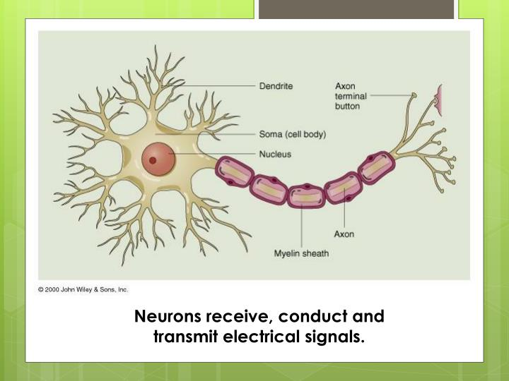 Neurons receive, conduct and
