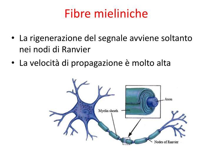 Fibre mieliniche