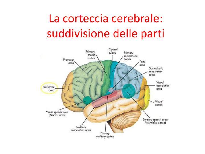 La corteccia cerebrale: