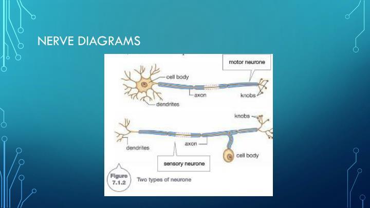 Nerve diagrams
