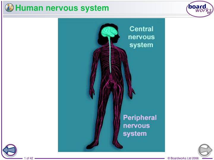 PPT Human Nervous System PowerPoint Presentation ID 2656540