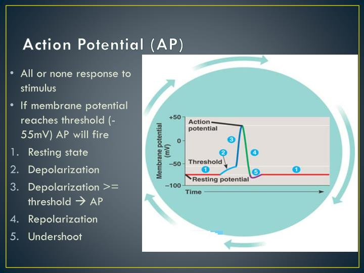 Action Potential (AP)