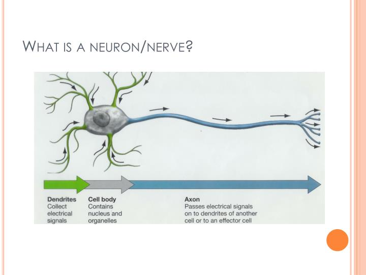 What is a neuron/nerve?