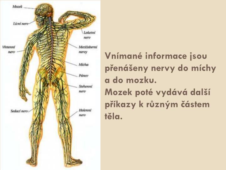 Vnímané informace jsou přenášeny nervy do míchy a do mozku.