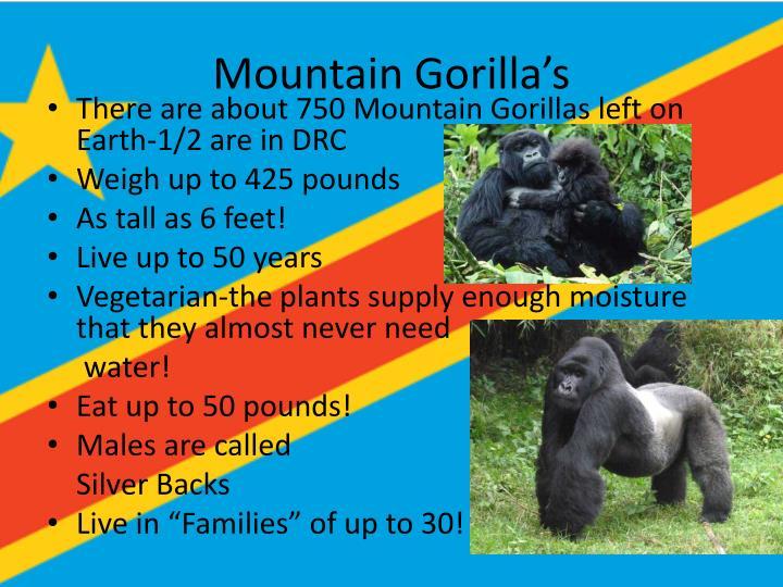 Mountain Gorilla's