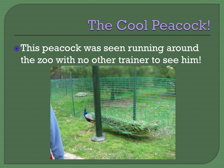 The cool peacock