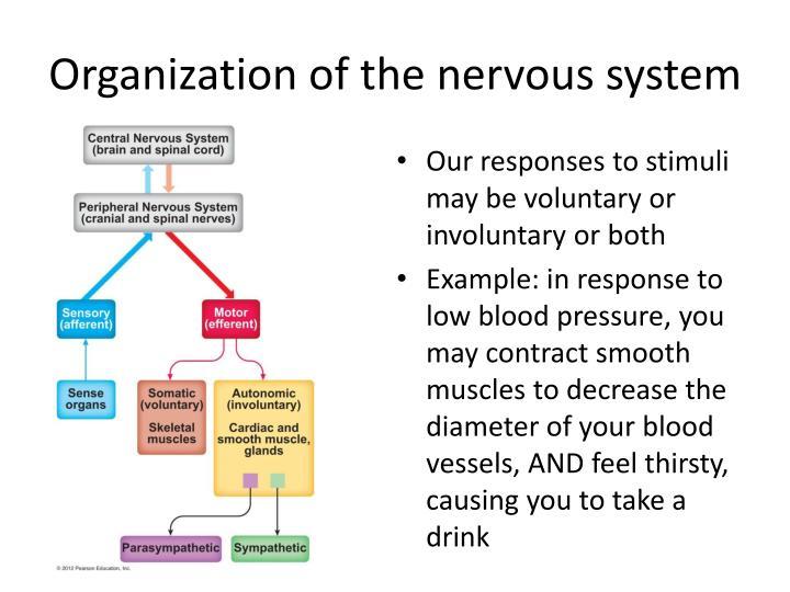 Organization of the nervous system1