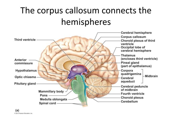 The corpus callosum connects the hemispheres