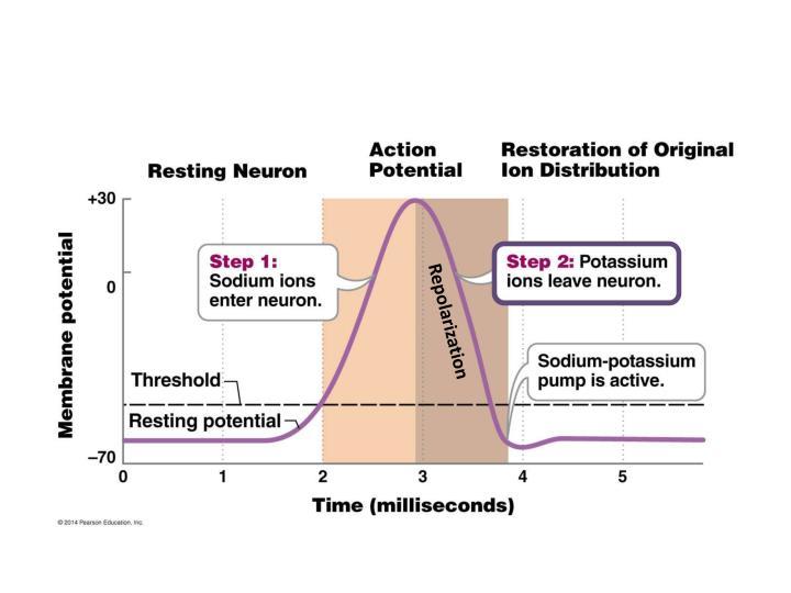Repolarization