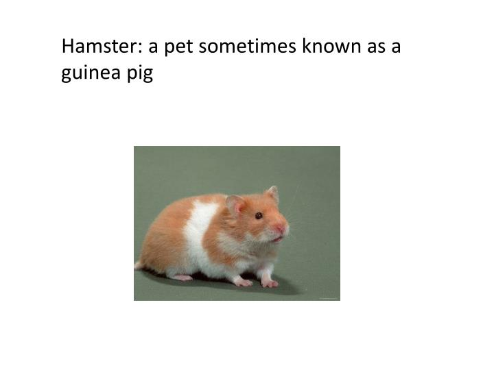 Hamster: a pet sometimes known as a guinea pig