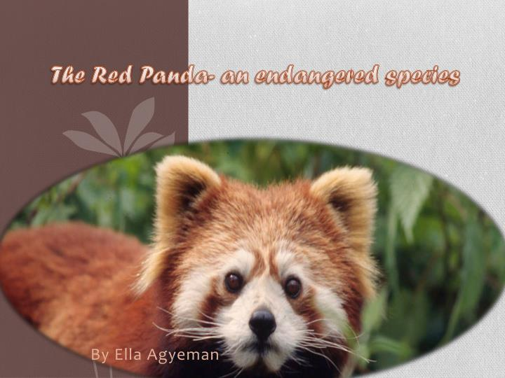 the red p anda an endangered species n.