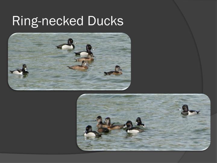 Ring necked ducks2