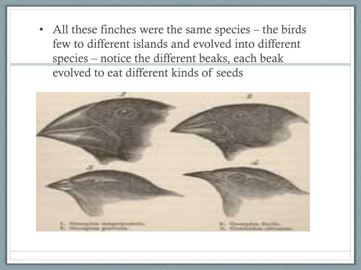 All these finches were the same species – the birds few to different islands and evolved into different species – notice the different beaks, each beak evolved to eat different kinds of seeds
