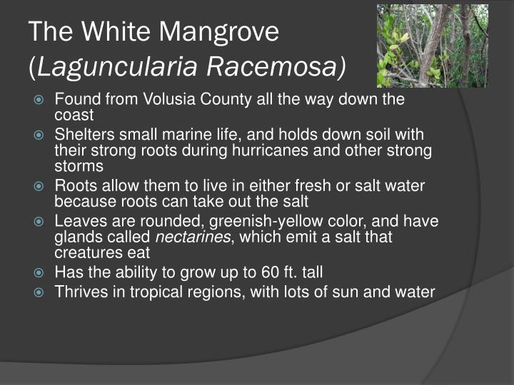 The white mangrove laguncularia racemosa