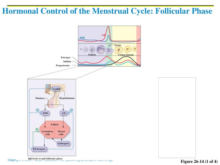 Hormonal Control of the Menstrual Cycle: Follicular Phase