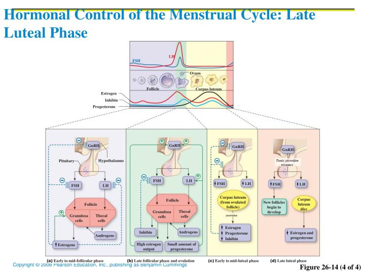 Hormonal Control of the Menstrual Cycle: Late Luteal Phase