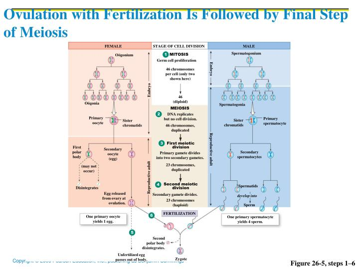 Ovulation with Fertilization Is Followed by Final Step of Meiosis