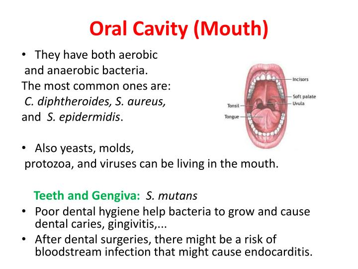 Oral Cavity (Mouth)