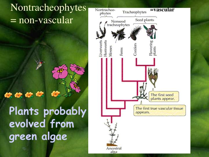 Nontracheophytes