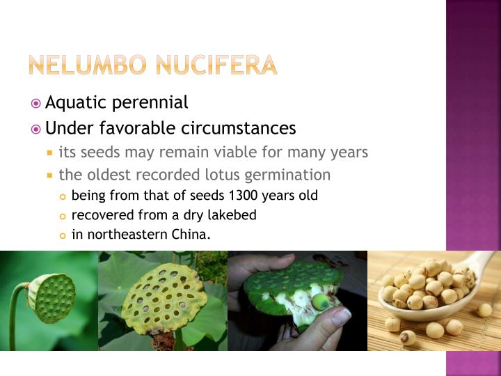 Nelumbo nucifera1