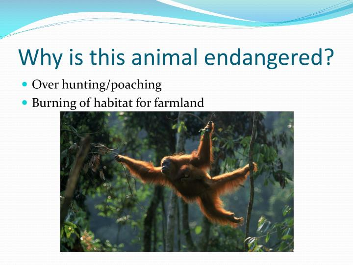 Why is this animal endangered?
