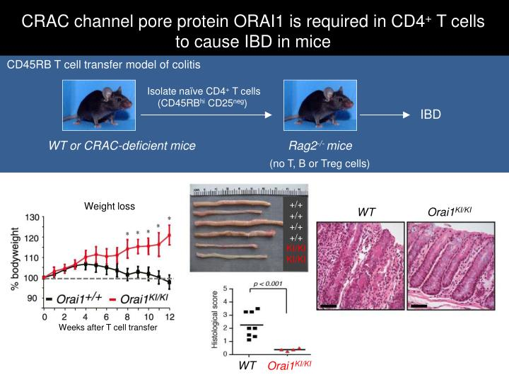 CRAC channel pore protein ORAI1 is required in CD4