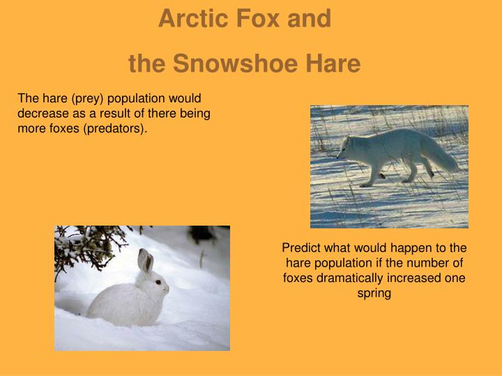 Arctic Fox and