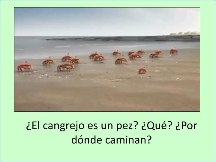 ¿El cangrejo es un pez? ¿Qué? ¿Por dónde caminan?