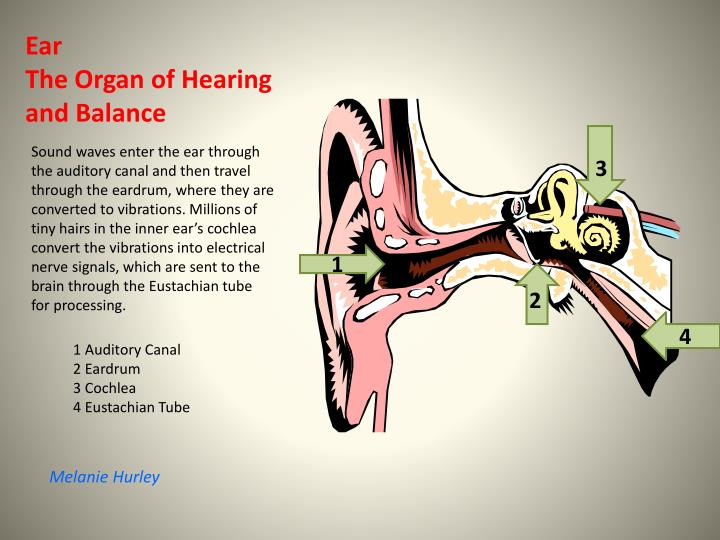 Sound waves enter the ear through the auditory canal and then travel through the eardrum, where they are converted to vibrations. Millions of tiny hairs in the inner ear's cochlea convert the vibrations into electrical nerve signals, which are sent to the brain through the Eustachian tube for processing.