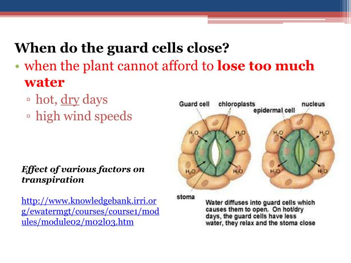 When do the guard cells close?
