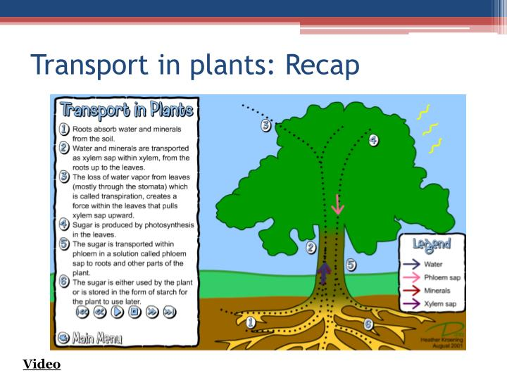 Transport in plants: Recap