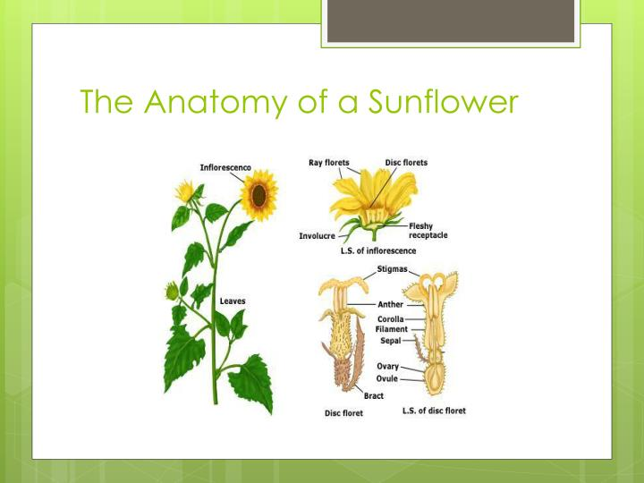 The Anatomy of a Sunflower
