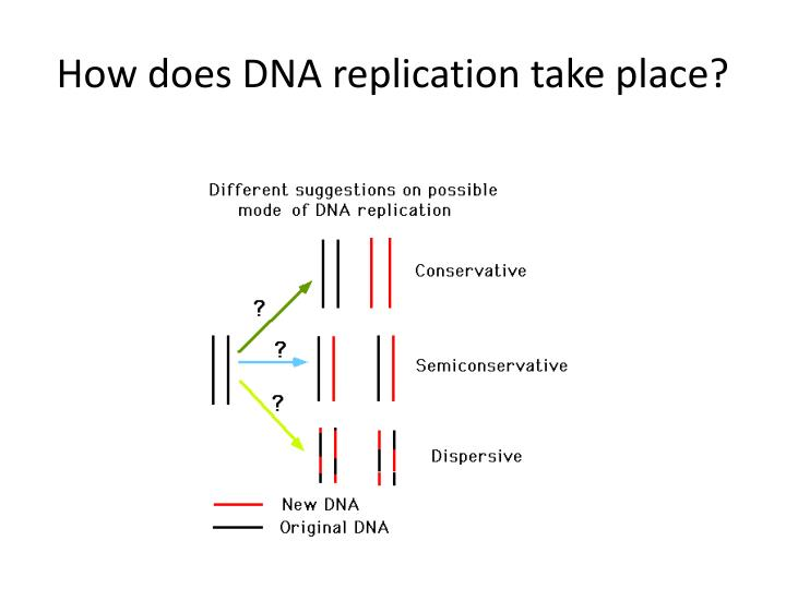 How does DNA replication take place?