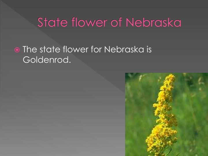 State flower of Nebraska