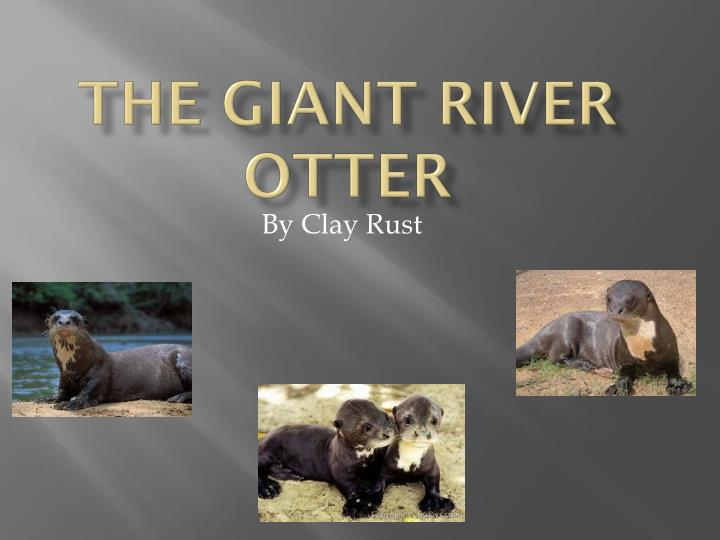 the giant river otter n.