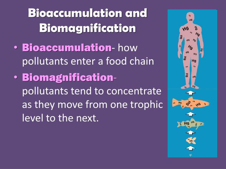 PPT Bioaccumulation and Biomagnification PowerPoint Presentation – Biomagnification Worksheet