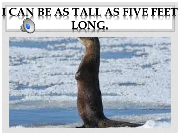 I can be as tall as five feet long.
