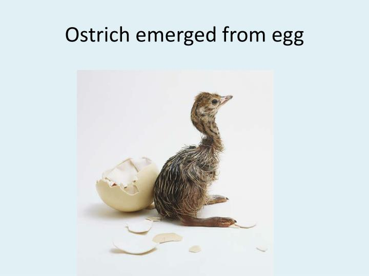 Ostrich emerged from egg