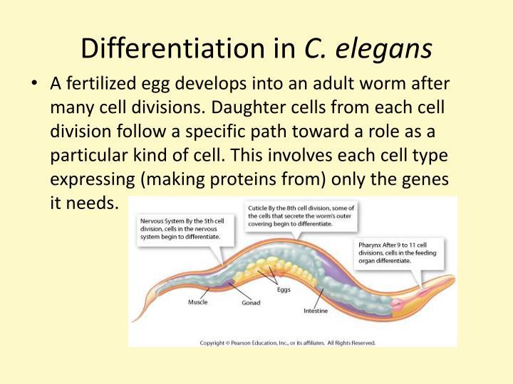 Differentiation in