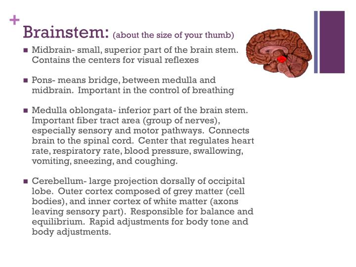Brainstem: