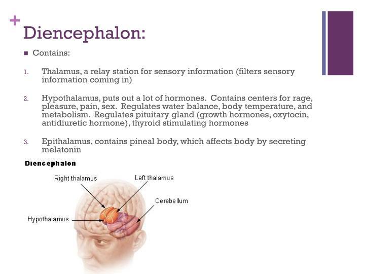 Diencephalon: