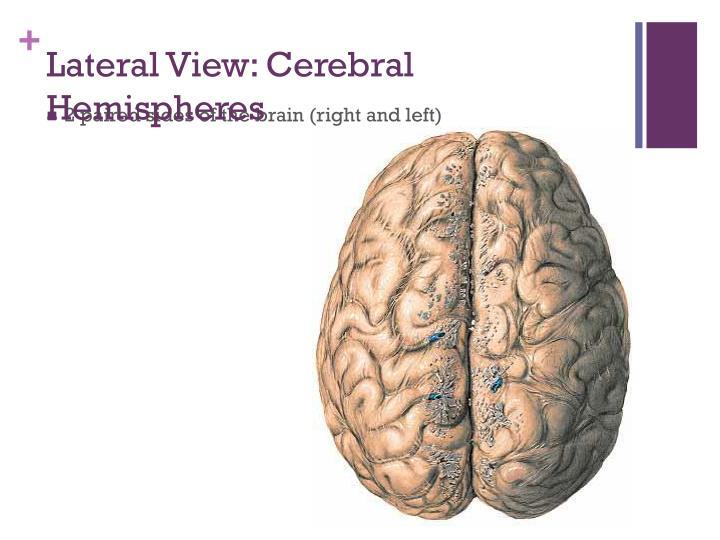 Lateral View: Cerebral Hemispheres