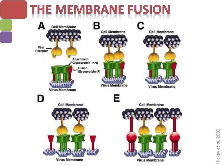 The Membrane Fusion
