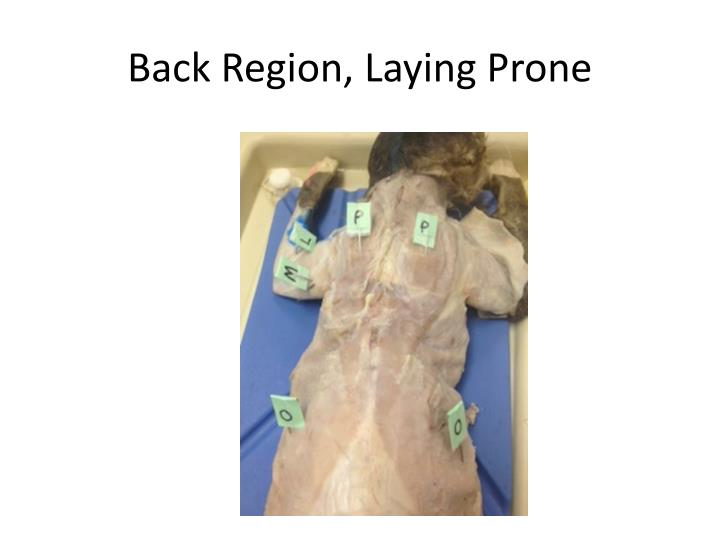 Back Region, Laying Prone