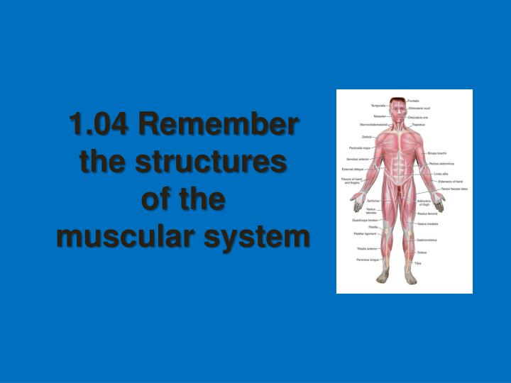 1 04 remember the structures of the muscular system n.