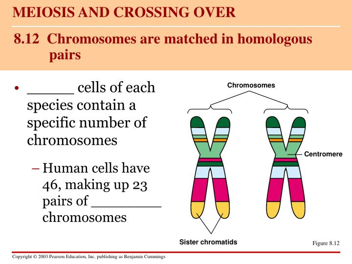 8 12 chromosomes are matched in homologous pairs