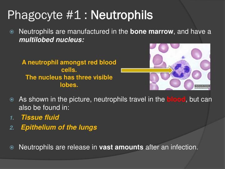 Phagocyte #1 :