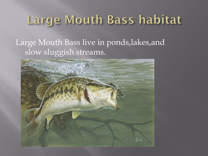 Large Mouth Bass habitat